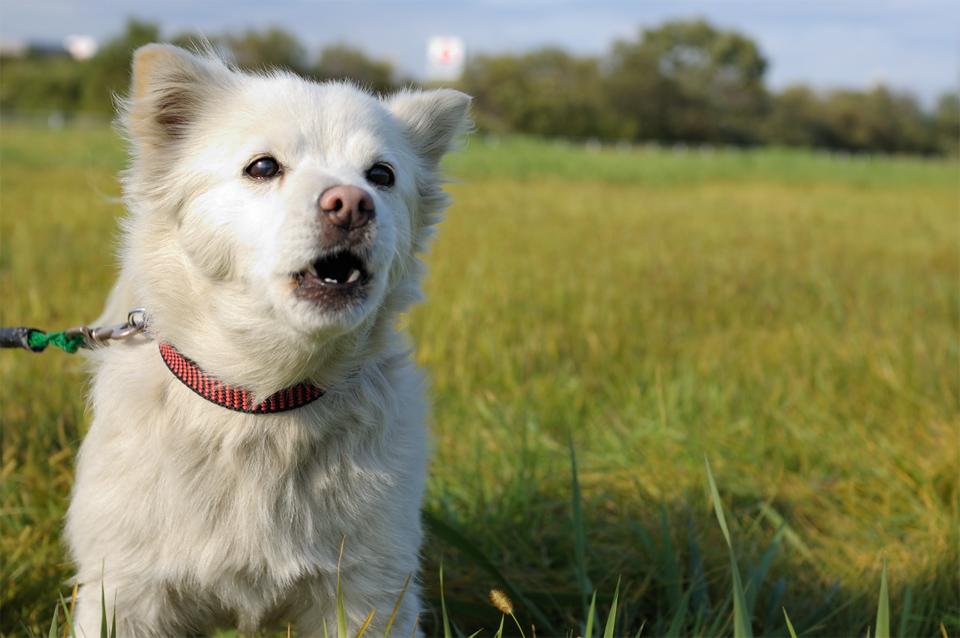 dog-white-kasenjiki-s.jpg