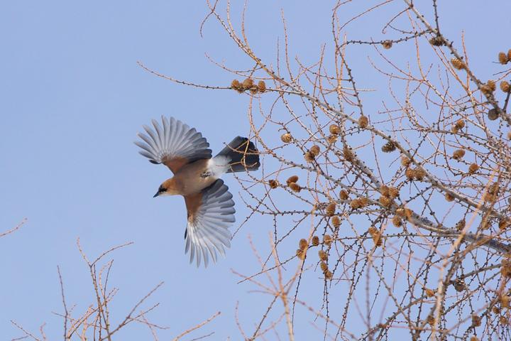 miyamakakesu-bird-s.jpg