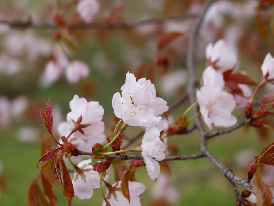 sakura-ezo-2012-s.jpg