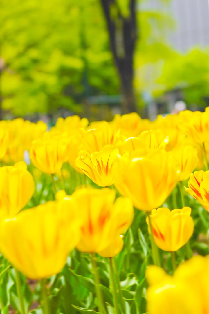 tulip-yellow-s.jpg