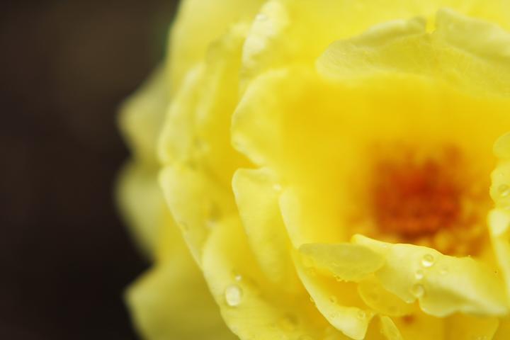 yellow-rose-s.jpg